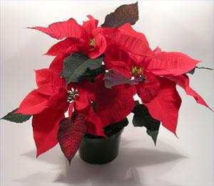 Foto Di Stelle Di Natale.Le Stelle Di Natale Della Croce Bianca Di Seveso Croce